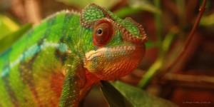 Chameleon (c) Margit Voeltz, pixelio.de