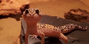 Gecko (c) Grossmann, pixelio.de
