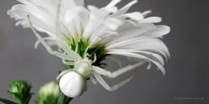 White Spider in Flower (c) Erika Hartmann, pixelio.de