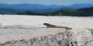 Lizard (c) Elke Barbara Bachler