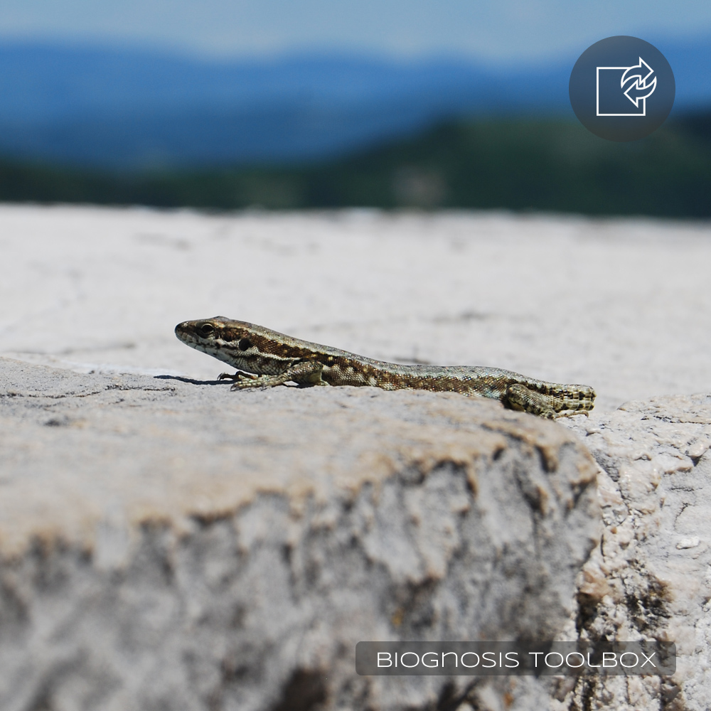 Lizard on stone wall, missing its tail.