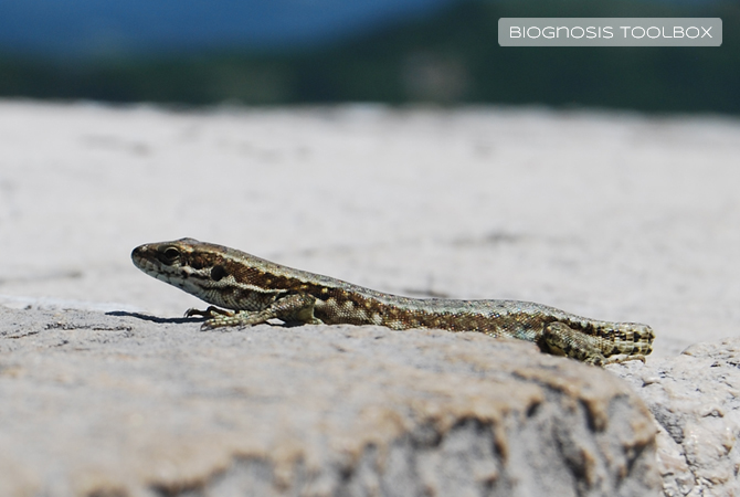 Lizard on sunny wall, without its tail.